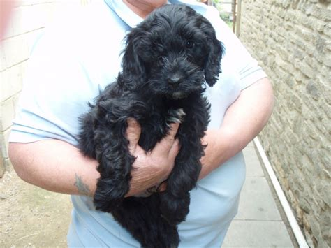 black cockapoo puppies black cockapoo cheltenham gloucestershire pets4homes