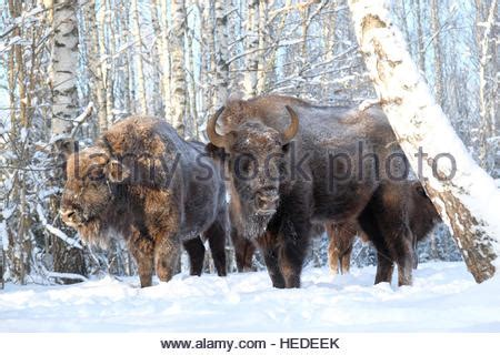 european bison, wisent (bison bonasus), group with a calf