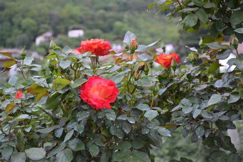 foto bellissime di fiori bellissime foto immagini piante fiori e funghi