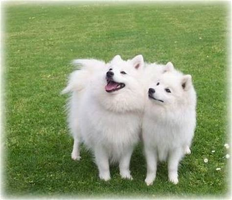 japanese spitz pomeranian mix 17 best ideas about japanese spitz on american eskimo puppy white