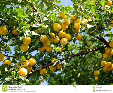 cherry tree yellow fruit cherry plum in fruit orchard stock photo image 59927679