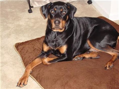are rottweilers and dobermans related rottweiler mix doberman puppy dogs in our photo