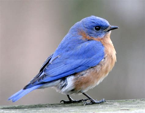 eastern bluebird male flickr photo sharing