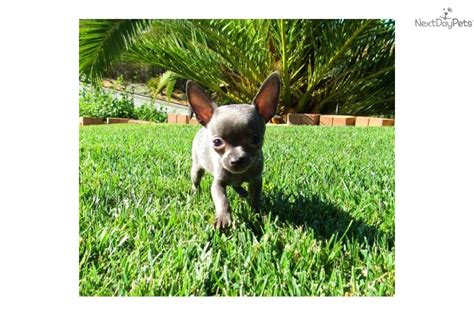 teacup puppies for sale in san diego puppies for adoption in san diego chihuahua images