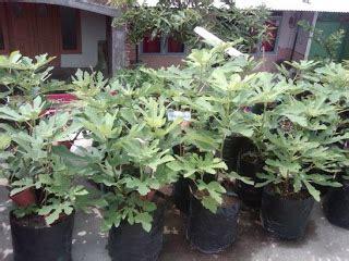 Tin Jenis Green Yordan tanaman buah tin green samudrabibit