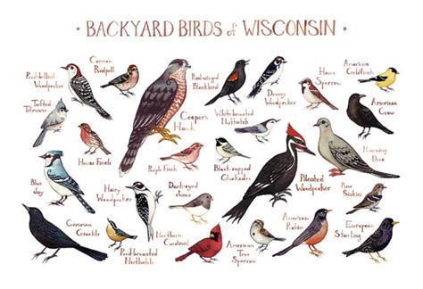 wisconsin backyard birds field guide art print watercolor