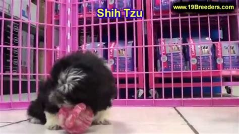shih tzu puppies for sale oregon shih tzu puppies for sale in portland oregon or mcminnville oregon city