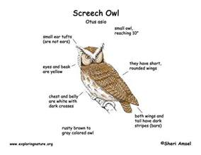 Barn Owl Meaning Owl Eastern Screech