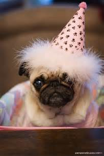 happy birthday to you pugs in hats pet shaming and