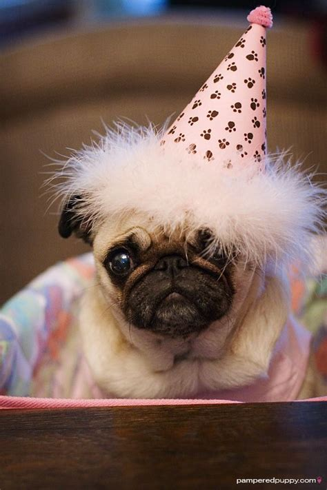 happy birthday pug happy birthday to you pugs in hats pet shaming and pets on quot fas