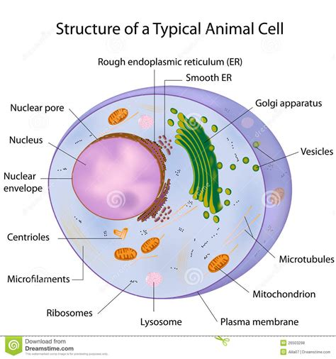 28 simplified structure of an animal cell vector 62294974 simplified structure of an animal cell vector 62294974 3d plant cell diagram simple cell diagram elsavadorla ccuart Images