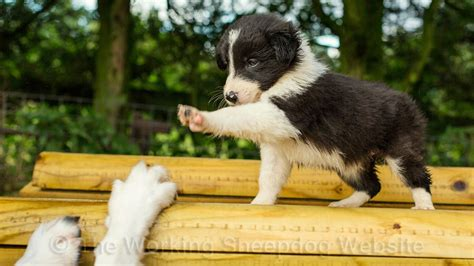 how to a border collie puppy puppy care