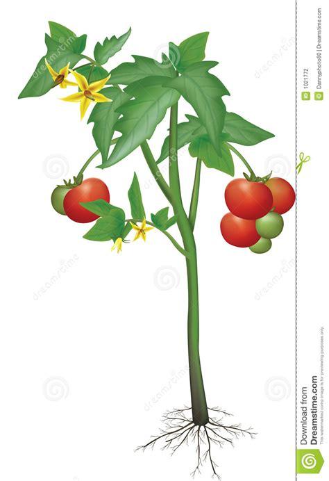 Läuse An Tomaten 5263 by Plante De Tomate Illustration Stock Illustration Du