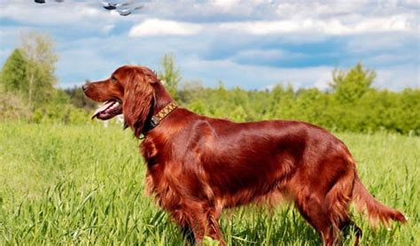 red setter dog facts irish setter dog breed information and facts