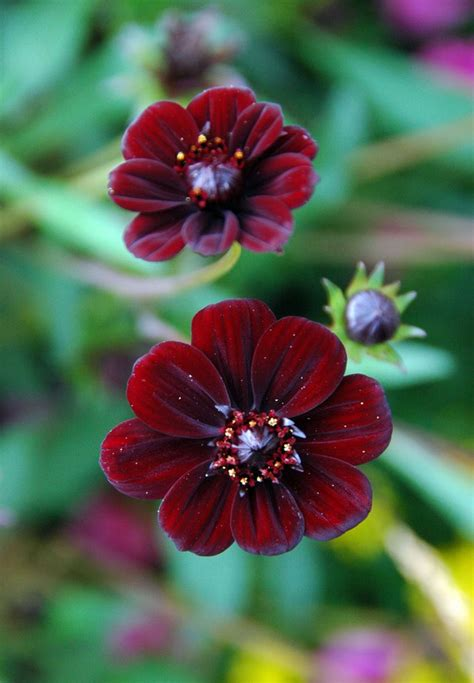 chocolate cosmos panoramio photo of chocolate cosmos cosmos atrosanguineus