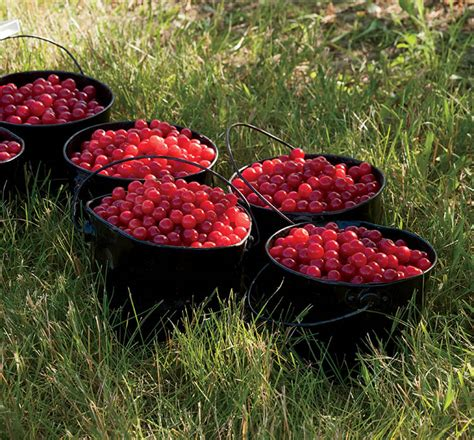 94 fruit that doesn t grow on trees 10 things you didn t about cherries farm flavor