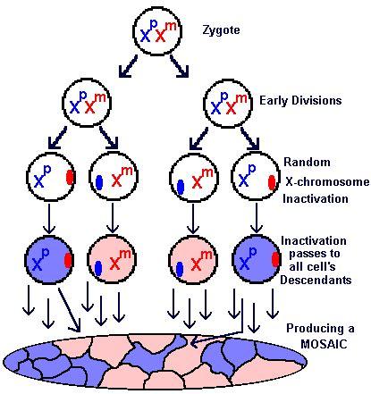 mosaic pattern in genetics free genetics lesson twelve sex determination