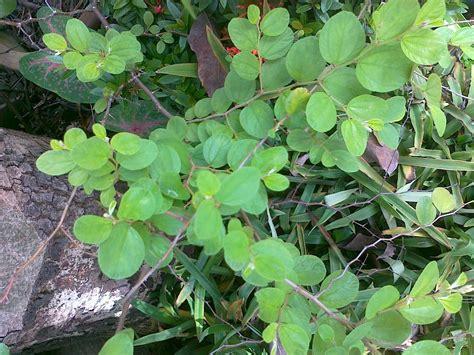 Biji Benih Buah Bidara Laut edukasi tentang herbal khasiat daun bidara untuk