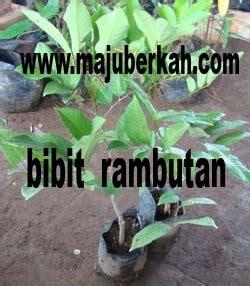 Bibit Pohon Rambutan Binjai bibit rambutan binjai bibit tanaman rambutan binjai jual