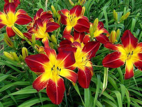 daylily hemerocallis ruby spider fine variety perennial