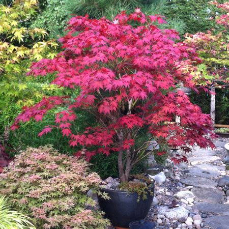 bloodgood japanese maple tree for sale   fast growing trees