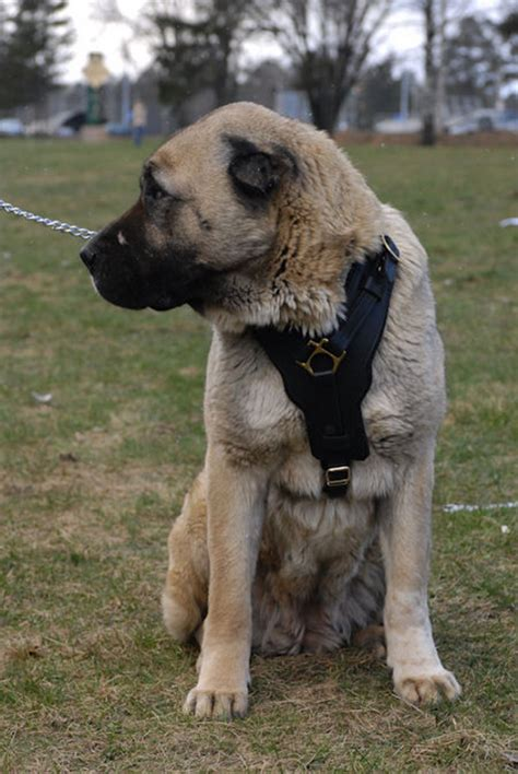 caucasian mountain attack caucasian mountain shepherd attacking breeds picture