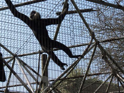 monkey swinging monkey swinging gif images