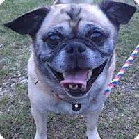 pug rescue south carolina irmo sc pug mix meet peanut a for adoption