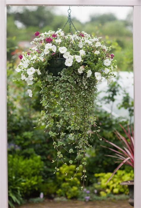 how to care for a bridal veil plant garden guides how to care for a bridal veil hanging plant hunker