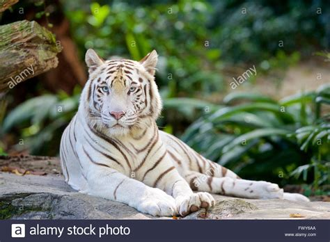 White Zoo singapore zoo white tiger blue stock photo royalty
