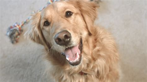 similar to golden retriever happy golden retriever pet is smiling and panting in 1920x1080 hd quality stock