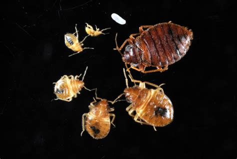 bed bugs pictures stages bed bugs informational guide to bed bugs purdue