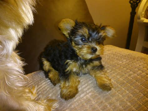 boy yorkie puppies for sale 3 yorkie puppies for sale 1 and 2 boys crewe cheshire pets4homes