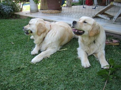 characteristics of golden retriever golden retriever temperament confident merry photo