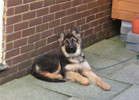 pictures of german shepherd puppies at 8 weeks pictures of german shepherd puppies at 8 weeks