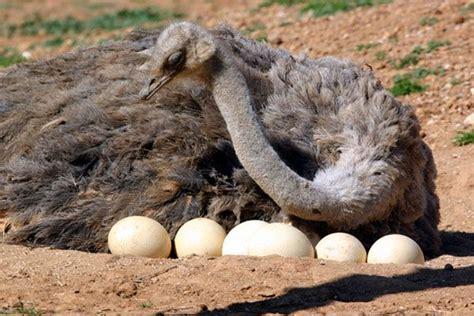imagenes de animales que nacen del huevo animales ov 237 paros cu 225 les son c 243 mo nacen nombres y