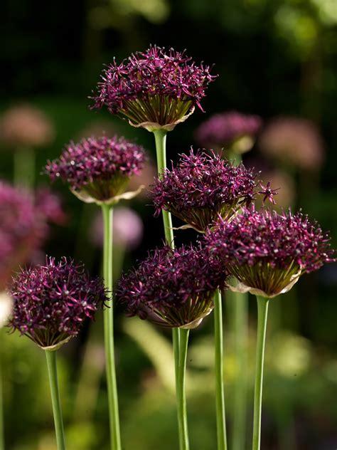 Allium atropurpureum - J.M. van Berkel - finest flowers ... J
