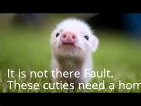 show this to your parents if you want a teacup pig!! youtube