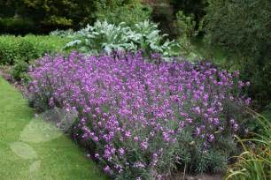 buy wallflower erysimum bowles s mauve delivery by waitrose garden in association with crocus