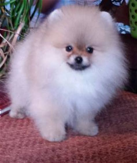 pomeranian puppies for sale california white pomeranian puppies for sale los angeles southern california riverside ca