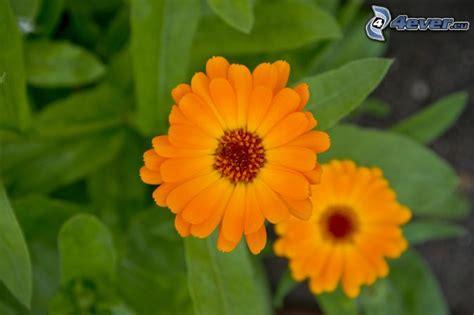 fiori arancioni nomi fiori arancioni