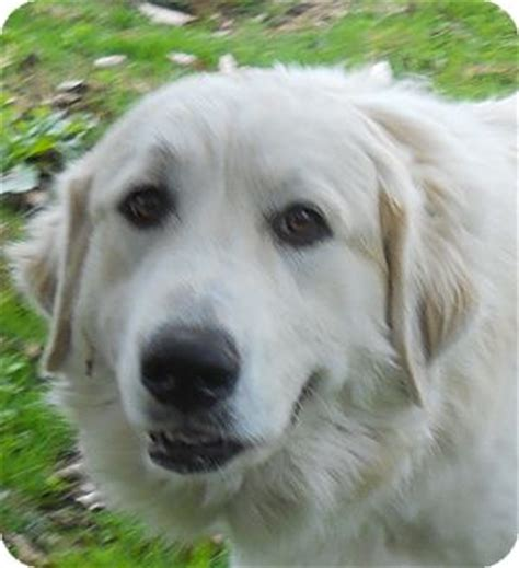 yorkie limping on back leg great pyrenees retriever unknown type mix for adoption in centerville tennessee