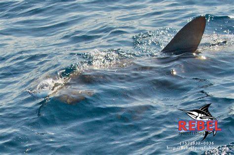 charter boat fishing virginia beach fishing photos sharks va beach fishing charter boat