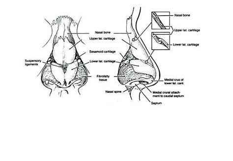 nose diagram nose revision surgery and surgeons the anatomy and