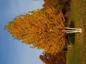 dakota pinnacle birch archives knecht s nurseries