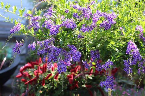 berbagi ilmu tentang tanaman hias  buah  aquascape