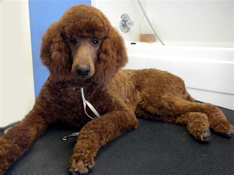 standard poodle face hair cuts one fine canine pictures