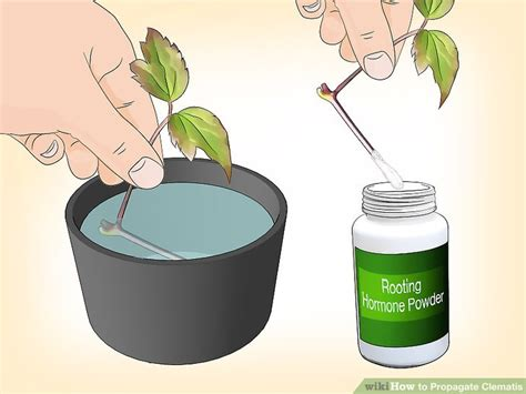 easy ways  propagate clematis  pictures wikihow