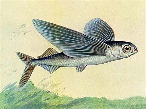 i pesci volanti untitled document www liceomedi
