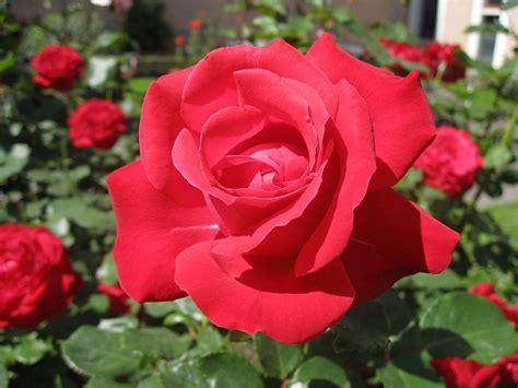 armilia sari  sekuntum mawar